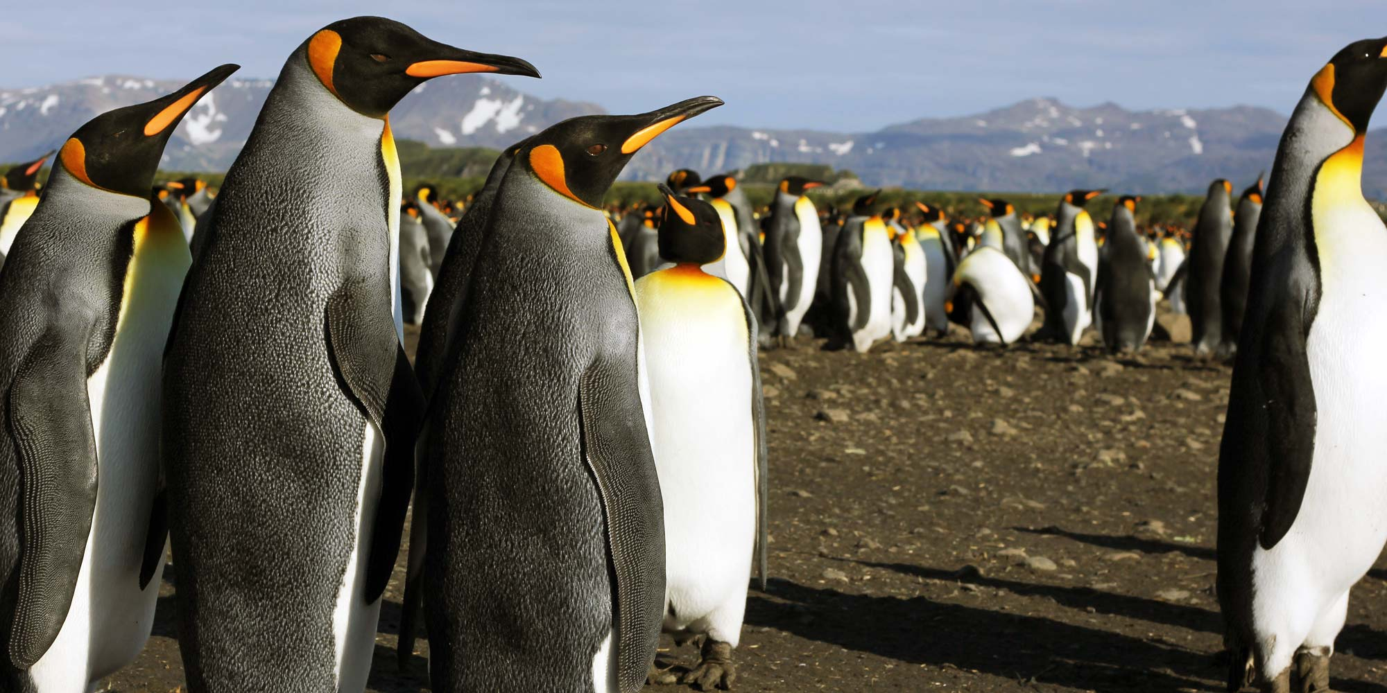 King Penguins on Salisbury Plain by wildlife cameraman Simon Vacher